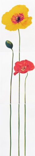 Monocolor Poppy R