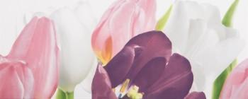 Tulip 1 PN