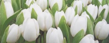 Tulip Mini W